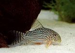 Dwergmeerval-Corydoras-Sterbai